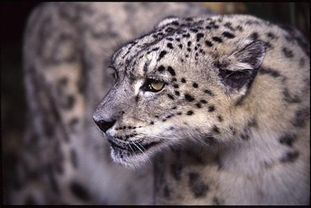 leopardo_delasnieves
