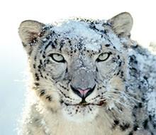 snowleopard2-3